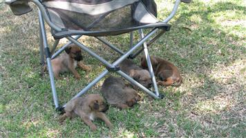 Purebred Irish Terrier Puppies For Sale