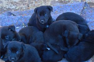 Labrador cross Shepard puppies R 250