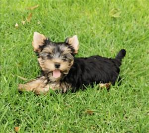 Female Registered Traditional Yorkie puppies