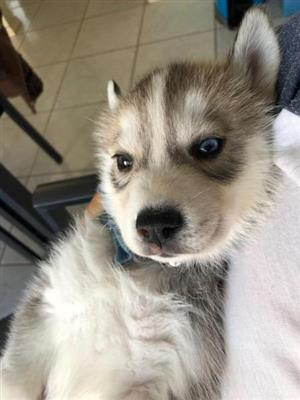 Adorable Purebred Siberian Husky Puppies