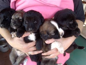 Labrador x sheepdog puppies available to approved home