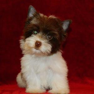 Biro male puppy