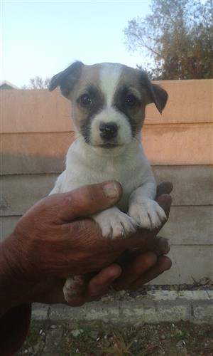 Jack Russell pure bred puppies
