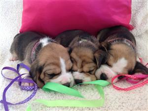 Beagle Puppies KUSA Registered