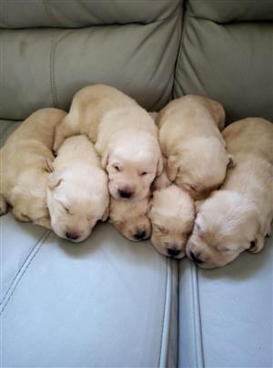 Pedigree labrador puppies.