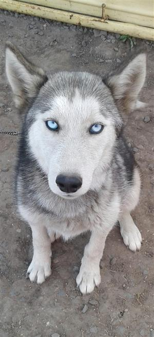 Pure bred Siberian Husky(female dog)