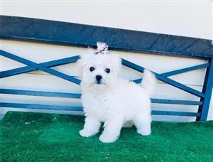 Beautiful purebred miniature Maltese puppies