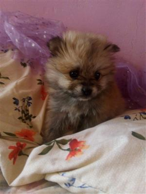 Miniature Pomeranian Female