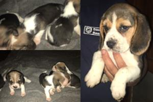 Beagle Puppies for sale...