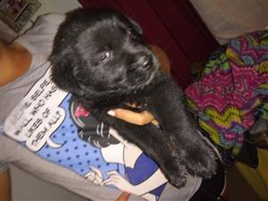 Chow-chow cross Labrador puppies for sale