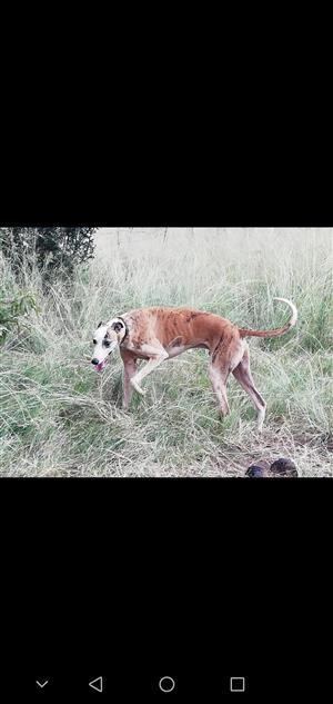 Greyhound a 3 year old male