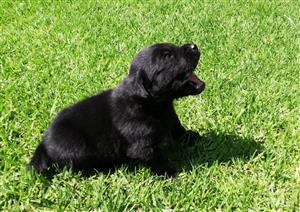 Labrador puppies (Black)