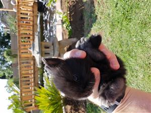 Angora jersey wooly rabbits