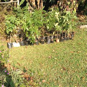 Tree Nut saplings available !