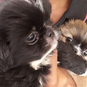 Pekingnese puppies,small tipe