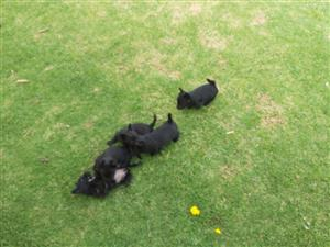 Scottish Terrier puppies for sale. Black, 2 females and 3 males. Ready to go to good homes 21/02/2020