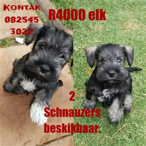 Schnauzer for sale