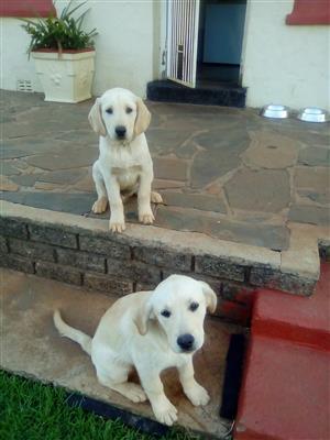 2 Labrador puppies for sale