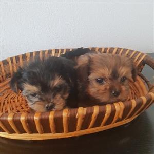 yorkie mini puppies