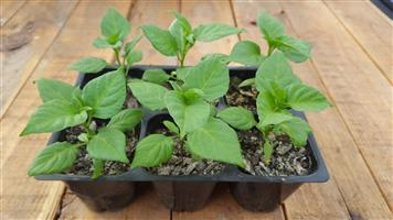 Carolina Reaper Seedlings! Hottest Pepper available!