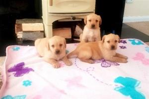 Lovely Chunky Labrador Retriever Puppies.