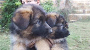 Registered German Shepherd puppies for sale