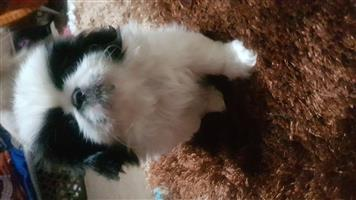 Beautiful Male Pekingese Puppy for sale