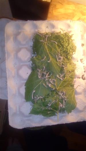 Sywurms/silkworms for sale 50c