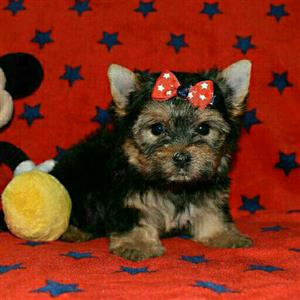 Perfect traditional yorkie boy puppy