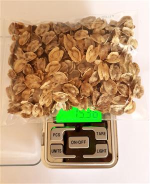 Ponytail Palms Seeds