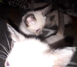 Saimese kittens for sale