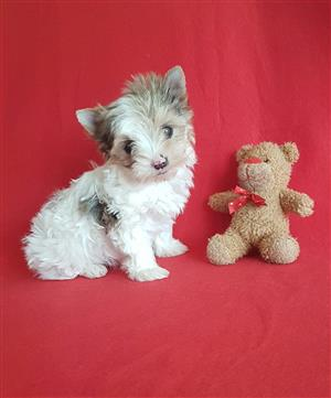 Blueberry Pocket size Female Yorkie puppy