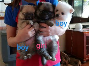 Pure Pomeranian Puppies(Toy Pom)