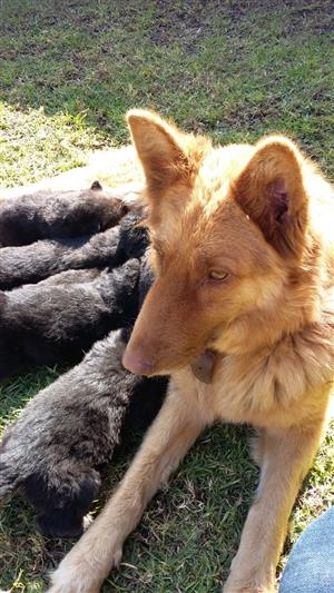 GERMAN SHEPHERD PUPS FOR SALE (Thourough Bred).