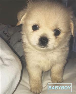 Two Pekingese x Toypom puppies looking for new homes!!