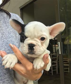 Beautiful KUSA Reg French Bulldog puppies available and ready to join their families