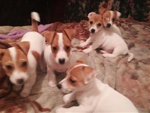 Short leg jack russell puppies