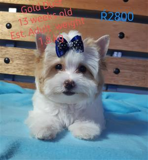Gold Dust Yorkie available