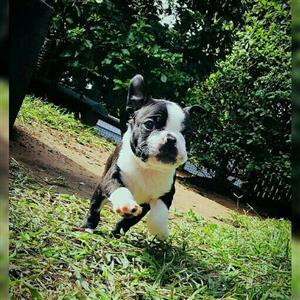 Boston terrier puppies.