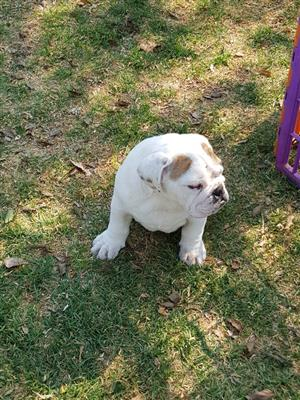 Gorgeous Kusa registered English Bulldog puppies available