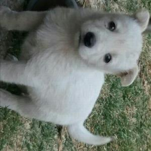White German shepherd pups