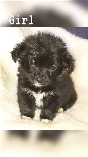 Maltese x Yorkie, Morkie puppies.