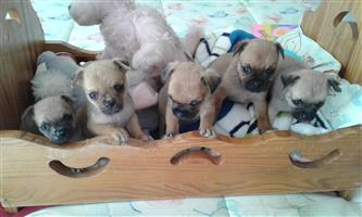 Pug crossed Frenchie puppies