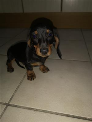 Daschund Puppies for sale