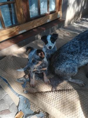 Australian Cattle Dogs Pyppies