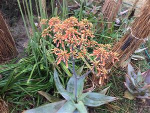 Indigenous plants for sale Kyalami