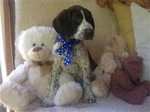 German Shorthaired Pointer Puppies KUSA Registered