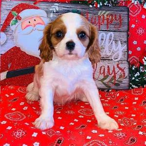 Health Tested Cavalier King Charles Spaniel puppies.