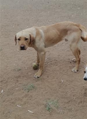 Labrador golden male