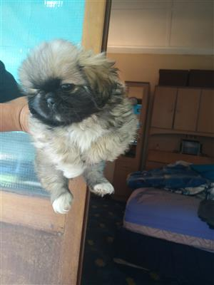 Beautiful Pekingese Male Puppy
